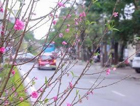 Cảm nhận không khí xuân về sớm trên con đường hoa đào dài 4km bung nở ở Hà Nội