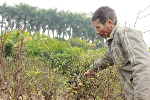 11 gia đình uất nghẹn vì bị chặt phá hàng trăm gốc đào bán Tết trong khi mải xem đội tuyển Việt Nam đá bóng-1