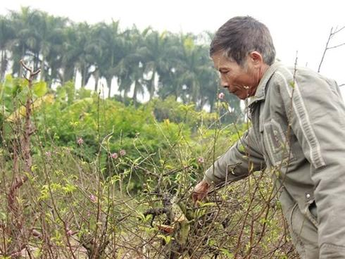 11 gia đình uất nghẹn vì bị chặt phá hàng trăm gốc đào bán Tết trong khi mải xem đội tuyển Việt Nam đá bóng