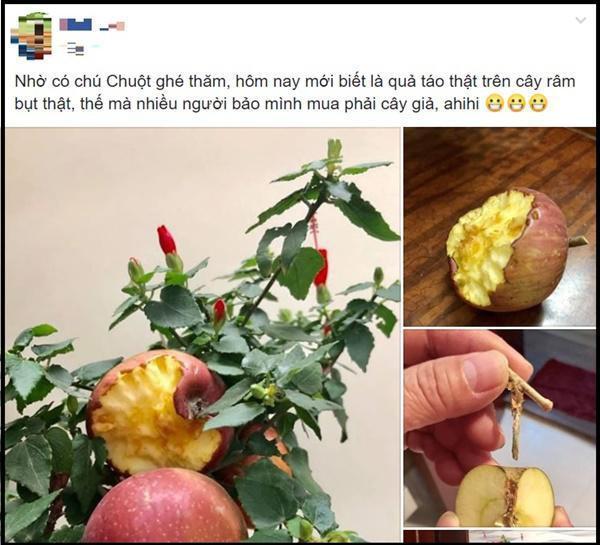 Cú lừa thế kỷ: Mua táo bonsai chưng Tết éo le lại nở ra hoa dâm bụt-2