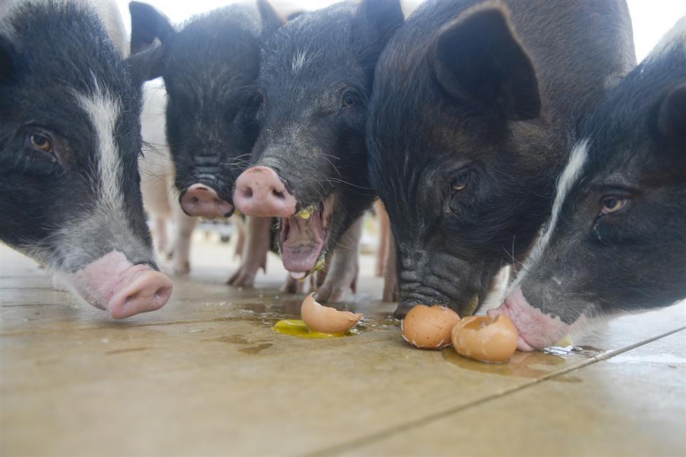 Công viên Hành tinh Lợn ở Trung Quốc hút khách dịp năm mới-5