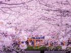 Anh đào bung sắc, vẻ đẹp mê hoặc du khách tới Nhật Bản