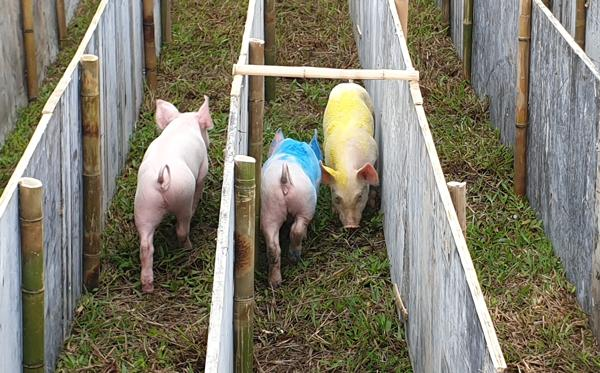 Cười vỡ bụng với màn đua lợn có 1-0-2 tại Ba Vì-2