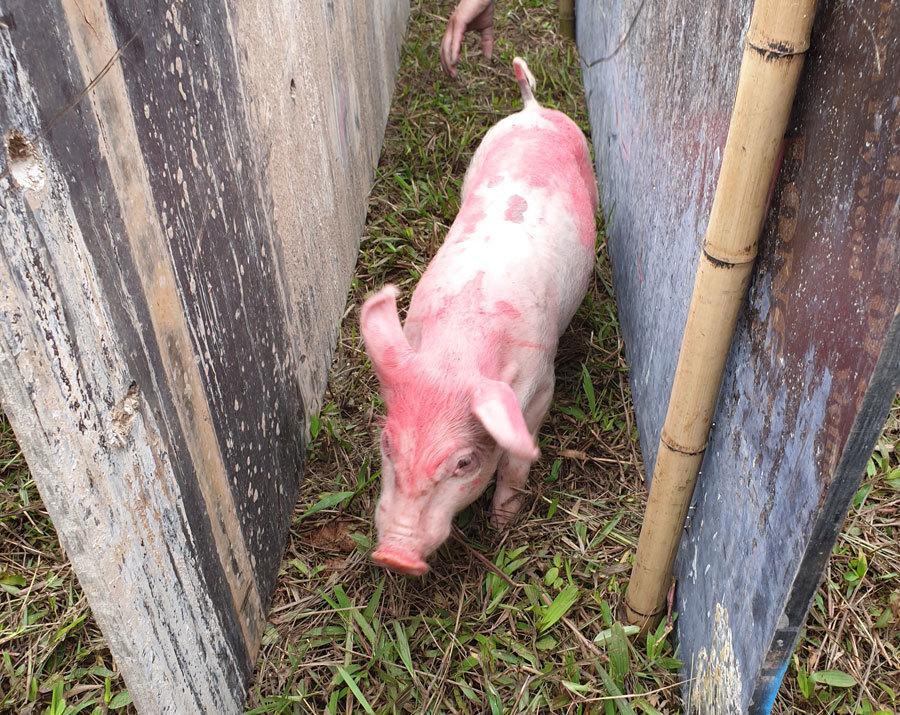 Cười vỡ bụng với màn đua lợn có 1-0-2 tại Ba Vì-5