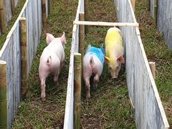 Cười 'vỡ bụng' với màn đua lợn có 1-0-2 tại Ba Vì
