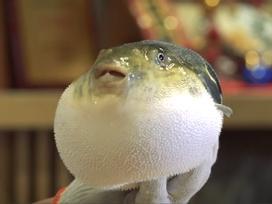 Bí quyết chế biến cá nóc mà không lo dính độc
