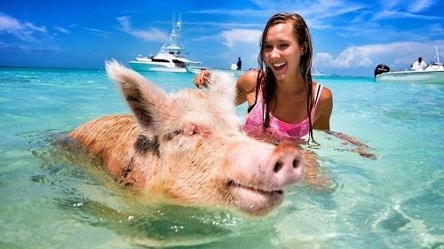 Du lịch Bahamas tăng trưởng thần kỳ nhờ… lợn-1