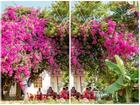 Cây hoa giấy khổng lồ, tuyệt đẹp 'có một không hai' trên đảo Lý Sơn