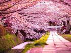Lịch hoa anh đào khoe sắc tại các vùng của Hàn Quốc 2019