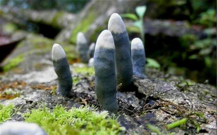 Loại nấm giống như ngón tay người, cực độc không ai dám đụng vào-1