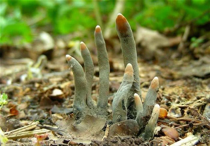 Loại nấm giống như ngón tay người, cực độc không ai dám đụng vào-4