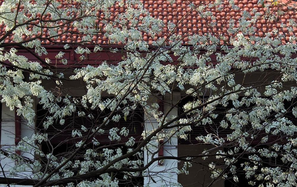 Tháng 3, sưa nở trắng trời Hà Nội-1