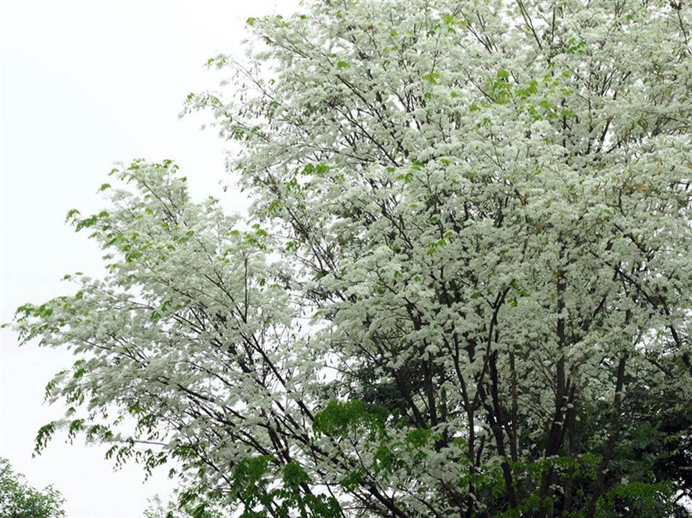 Tháng 3, sưa nở trắng trời Hà Nội-2