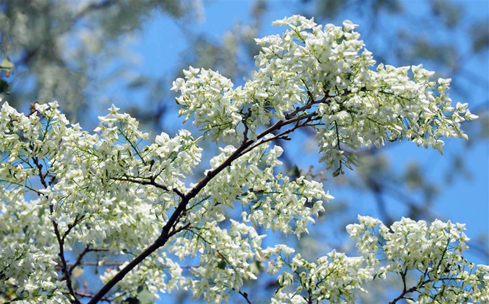Tháng 3, sưa nở trắng trời Hà Nội-7