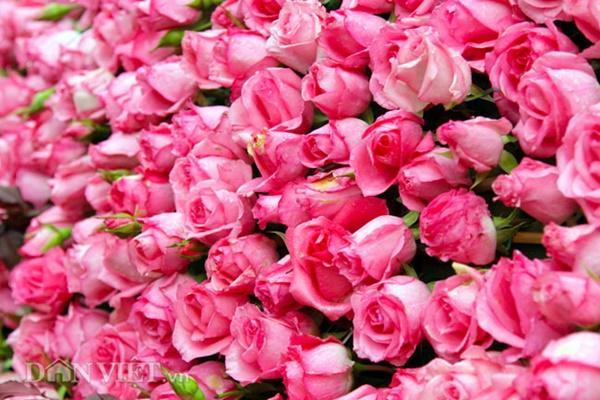 Ngắm chú lợn khổng lồ kết từ hơn vạn bông hồng tươi ở Ba Vì-4