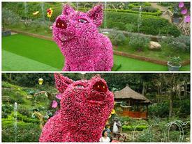 Ngắm chú lợn khổng lồ kết từ hơn vạn bông hồng tươi ở Ba Vì