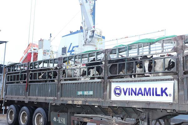 Vinamilk nhập thêm hơn 1.600 bò sữa HF và A2 từ Mỹ-2