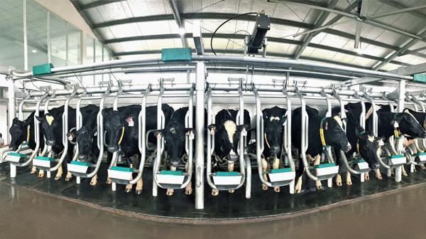 Vinamilk nhập thêm hơn 1.600 bò sữa HF và A2 từ Mỹ-3