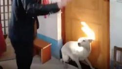 Chú rể số đen: Chật vật mãi không thể vào phòng đón dâu chỉ vì một chú chó nằm lì trước cửa