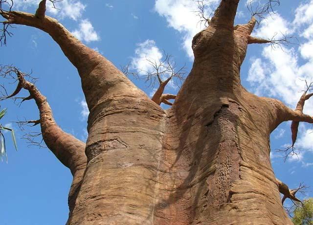 Loại cây khổng lồ ở châu Phi, người dân có thể sống bên trong và hái quả để ăn-1
