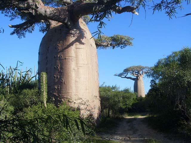 Loại cây khổng lồ ở châu Phi, người dân có thể sống bên trong và hái quả để ăn-2