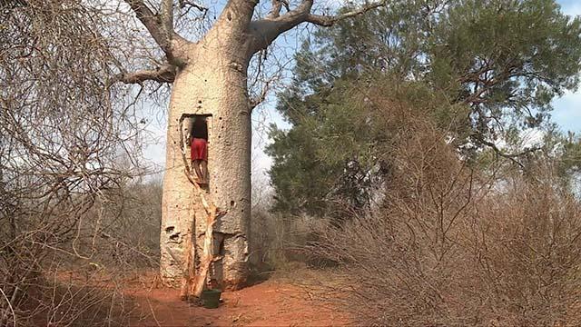 Loại cây khổng lồ ở châu Phi, người dân có thể sống bên trong và hái quả để ăn-4