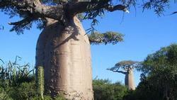 Loại cây khổng lồ ở châu Phi, người dân có thể sống bên trong và hái quả để ăn