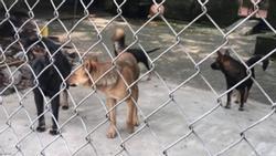 Vụ bé trai 7 tuổi bị chó cắn chết: Chủ đàn chó có bị xử lý?