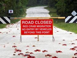 Hòn đảo ở Australia cấm đường làm lối đi cho hàng triệu con cua đỏ
