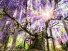 Lạc bước vào thế giới phim 'Avatar' ở lễ hội hoa tử đằng Nhật Bản