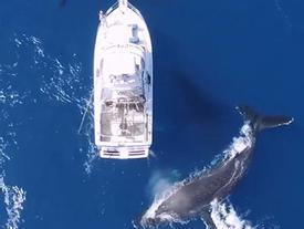 Bầy cá voi lưng gù bơi lội quanh thuyền của du khách