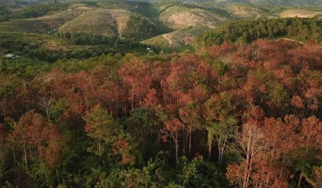 Bắt kẻ cầm đầu vụ hạ độc hơn 10 ha rừng thông 20 năm tuổi-2