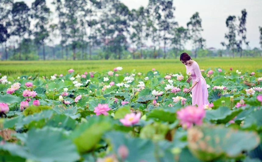 5 địa điểm chụp sen tuyệt đẹp quanh Hà Nội mùa hè này-8