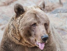 Du khách Nga thoát chết trong gang tấc nhờ… cắn vào lưỡi gấu