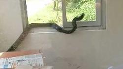 SỢ ĐẾN RUN NGƯỜI nhìn con rắn hổ mang chúa dài cả mét, bò ngoe nguẩy khắp phòng bảo vệ ở Quảng Ninh