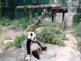 Du khách ném đá gấu trúc Bắc Kinh khiến cộng đồng mạng phẫn nộ