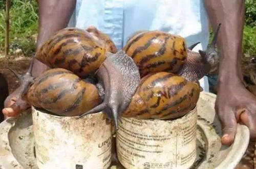 Loài vật này khiến mọi quốc gia kinh hãi nhưng người châu Phi lại nghiện ăn-1
