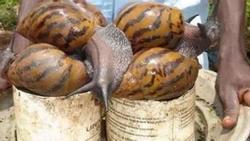 Loài vật này khiến mọi quốc gia kinh hãi nhưng người châu Phi lại nghiện ăn