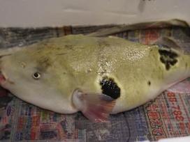 Con cá vừa xấu xí vừa kịch độc mà có giá gần 7 triệu một miếng bé xíu