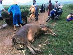 Dắt bò kéo xe về nhà, cụ bà ở Nghệ An bị sét đánh tử vong