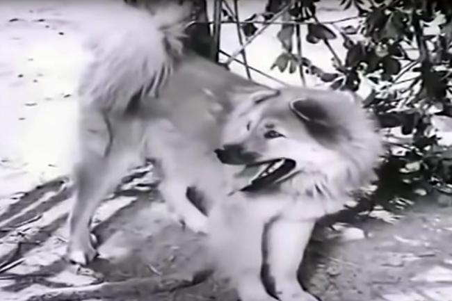VZN News: 3 chú chó ta ấn tượng trên màn ảnh Việt, diễn xuất không kém cạnh chó ngoại-4