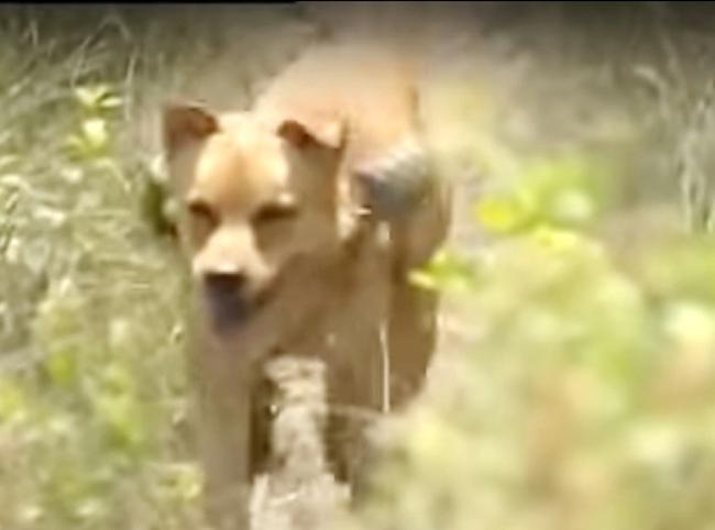 VZN News: 3 chú chó ta ấn tượng trên màn ảnh Việt, diễn xuất không kém cạnh chó ngoại-7
