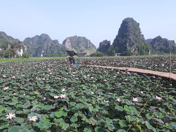 Xuất hiện đầm sen đẹp lạ lùng ở Ninh Bình làm giới trẻ mê mẩn muốn đến check in-4