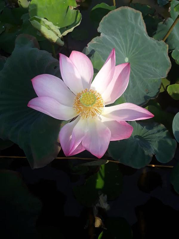 Xuất hiện đầm sen đẹp lạ lùng ở Ninh Bình làm giới trẻ mê mẩn muốn đến check in-6