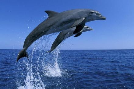 Cá heo liên tục nhảy trên mặt nước cảm ơn ngư dân thả con mình
