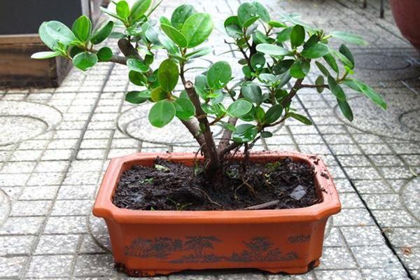 5 loại cây phong thủy nhà giàu không muốn trồng, đẹp mấy cũng không rước vào nhà-2