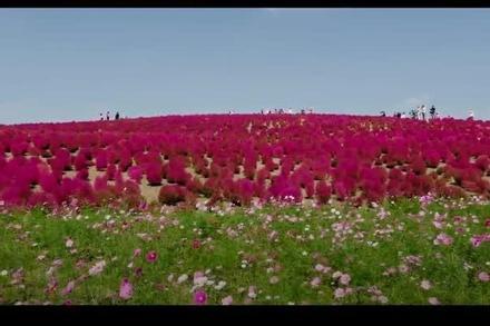 Đồng cỏ chuyển màu đỏ thẫm khiến khách thích mê ở Nhật Bản