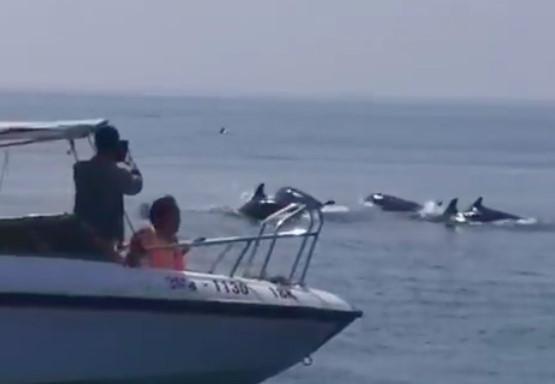 Cả trăm con cá heo xuất hiện trên vùng biển Hội An-1