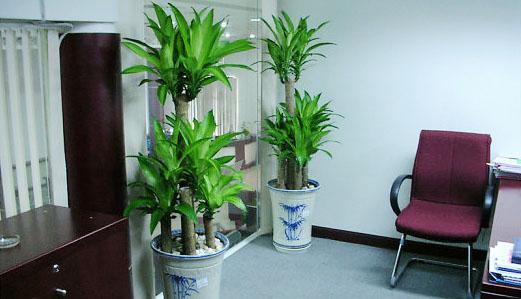 6 loại cây phú quý nên trồng trong nhà giúp lọc không khí, chiêu tài đón lộc-1