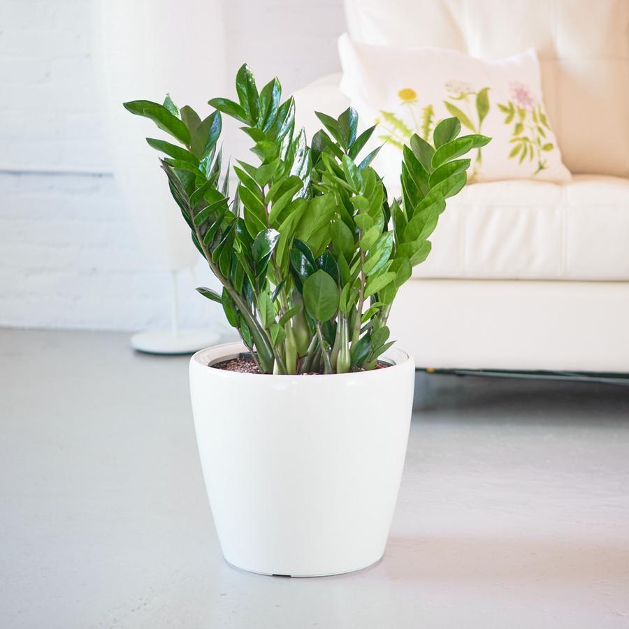 6 loại cây phú quý nên trồng trong nhà giúp lọc không khí, chiêu tài đón lộc-2